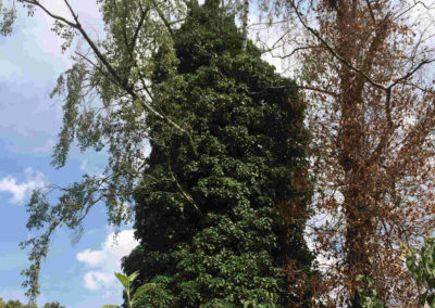 Efeu nimmt dem Baum Luft und begünstigt Faulstellen im Stammbereich