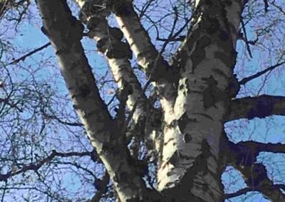 Alte Birke mit Pilzen an Ast und Stamm