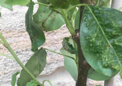 Gallmilben an Birnbaum